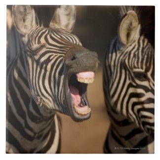Un primer de una cebra que muestra sus dientes, azulejo cuadrado grande