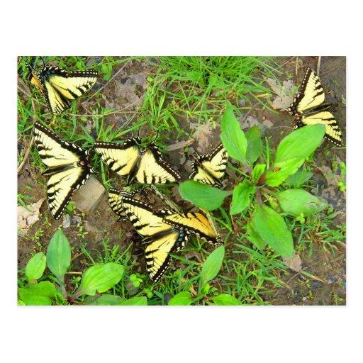 Un racimo de postal de las mariposas