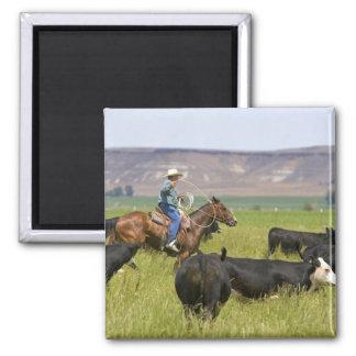 Un ranchero a caballo durante un rodeo 2 del ganad imán cuadrado