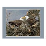 Un retrato de la familia de Eagle calvo Postal
