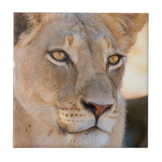 Un retrato de una leona que mira en la distancia azulejo cuadrado pequeño