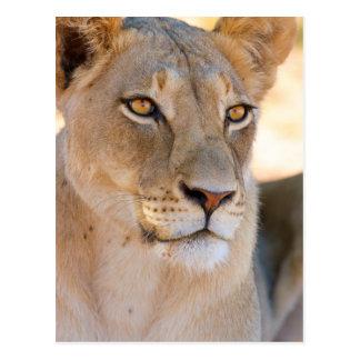 Un retrato de una leona que mira en la distancia postal