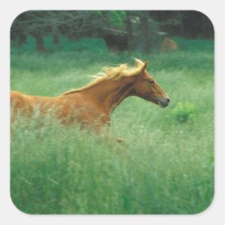 Un semental joven corre a través de un prado de pegatina cuadrada
