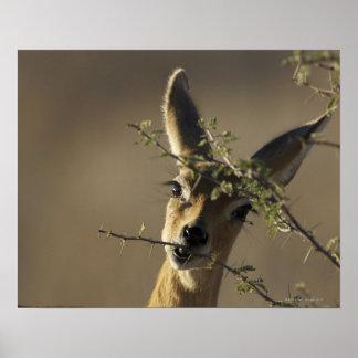Un Steenbok que mira la cámara mientras que come Póster