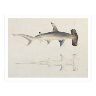 Un tiburón Martillo-dirigido, Loheia, atribuido an Postales