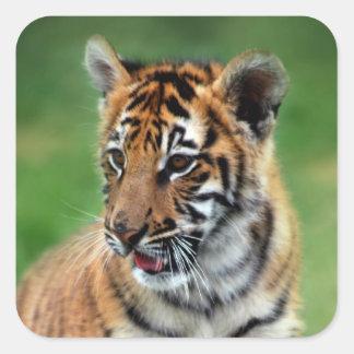 Un tigre de bebé lindo pegatina cuadrada