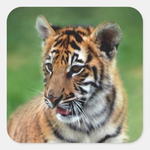 Un tigre de bebé lindo pegatina cuadradas personalizadas