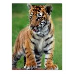 Un tigre de bebé lindo tarjeta postal