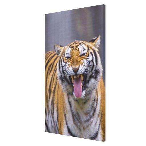Un tigre del rugido, parque zoológico de Taiwán, Impresión En Lienzo Estirada
