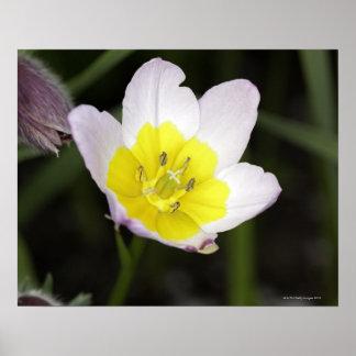 Un tulipán enano 8-10' alto con la lila florece co póster