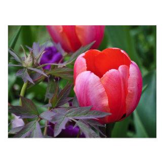 Un tulipán y otro sale de II Tarjeta Postal