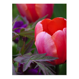 Un tulipán y otro se va tarjeta postal