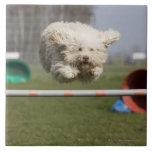 Un Waterdog portugués que salta sobre un obstáculo Azulejos Cerámicos
