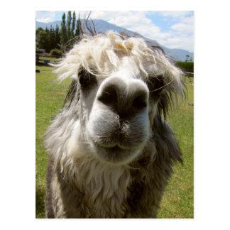 Una alpaca lanuda postal