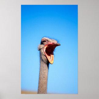 Una avestruz que muestra la agresión póster