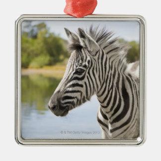 Una cebra de montaña adolescente (cebra del Equus) Adorno Navideño Cuadrado De Metal