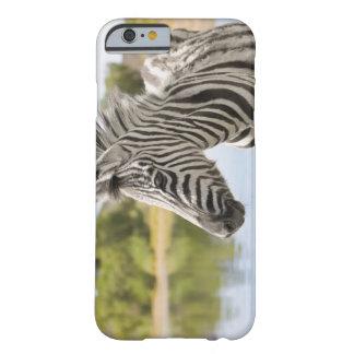 Una cebra de montaña adolescente (cebra del Equus) Funda De iPhone 6 Barely There