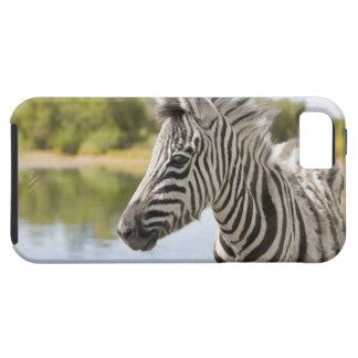 Una cebra de montaña adolescente (cebra del Equus) iPhone 5 Case-Mate Cobertura
