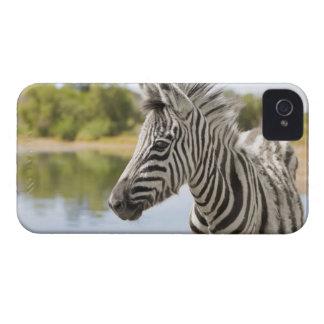 Una cebra de montaña adolescente cebra del Equus iPhone 4 Cárcasas