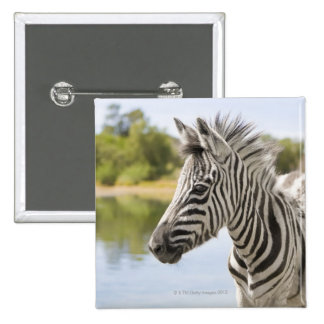 Una cebra de montaña adolescente cebra del Equus Pin