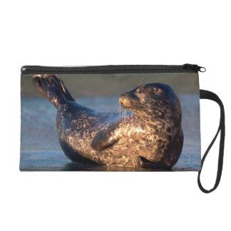 Una cría de foca que lo levanta es cola