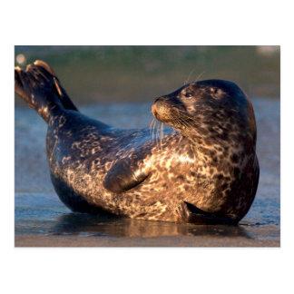 Una cría de foca que lo levanta es cola postales