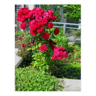 Una explosión de la postal de los rosas