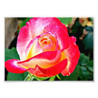 Una foto color de rosa hermosa fotografía