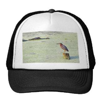 Una garza tricolora y un cocodrilo gorra