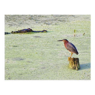 Una garza tricolora y un cocodrilo tarjeta postal
