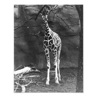 Una jirafa sola fotografía