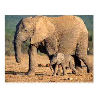 Una madre y un becerro del elefante africano en el postal