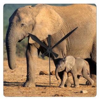 Una madre y un becerro del elefante africano en el reloj cuadrado