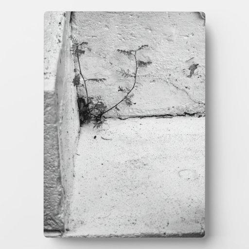 Una mala hierba de la lucha en pasos concretos placas con fotos