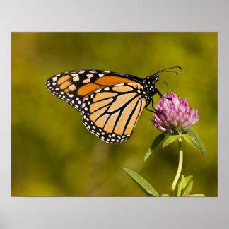 Una mariposa de monarca, plexippus del Danaus, en  Póster