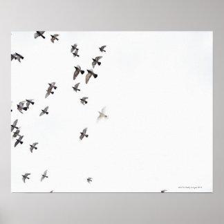 Una multitud de pájaros está volando en el cielo póster