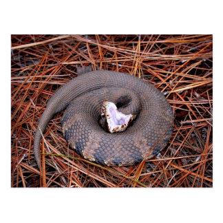 Una serpiente del este venenosa del Cottonmouth Postal