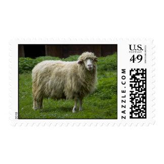 Una tierras de labrantío de las ovejas el   timbres postales