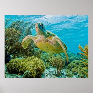 Una tortuga verde en los filones bajos de Bonaire Póster