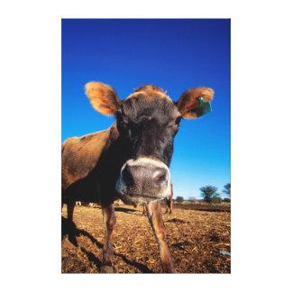 Una vaca del jersey que es inquisitiva impresión en lienzo estirada
