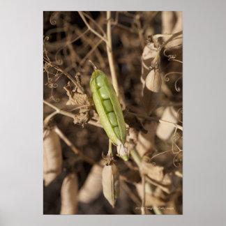 Una vaina de guisante verde en una planta secada d póster