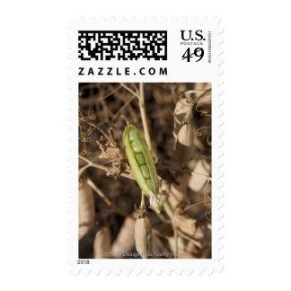 Una vaina de guisante verde en una planta secada sello