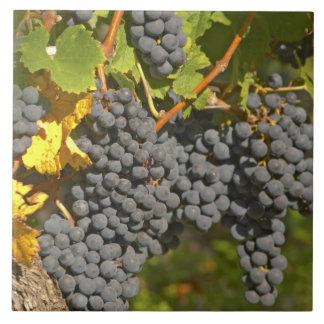 Una vid con los manojos maduros de la uva del Merl Azulejo Cuadrado Grande