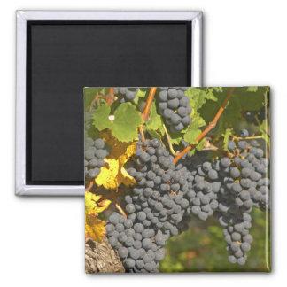 Una vid con los manojos maduros de la uva del Merl Imán Cuadrado