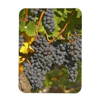 Una vid con los manojos maduros de la uva del Merl Imán Flexible