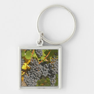Una vid con los manojos maduros de la uva del Merl Llaveros