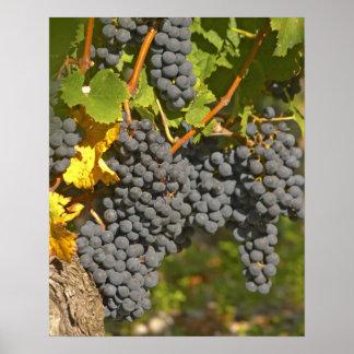 Una vid con los manojos maduros de la uva del Merl Impresiones