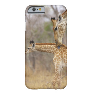 Una vista lateral de una jirafa que lame sus