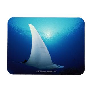 Underside of a manta ray magnet