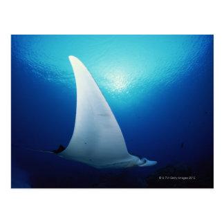 Underside of a manta ray post card